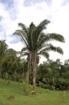 Cohune Palm on the plantation