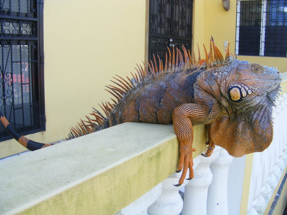 Iguanna-On Front Porch at Lower Dover in Belize