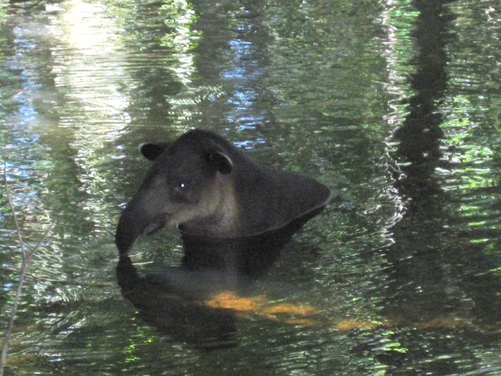 Wild Tapir at Lower Dover!