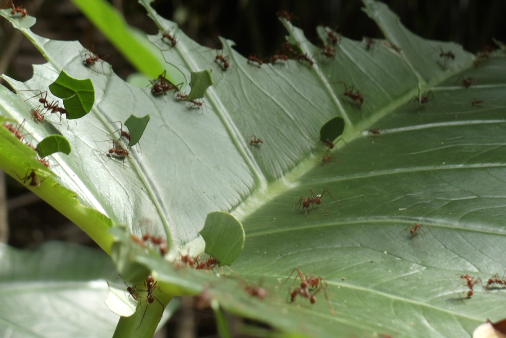 Leafcutter Ants at Lower Dover