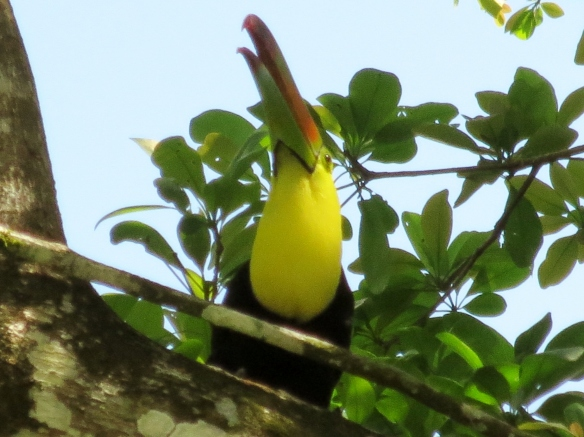 Toucan calling to its mates